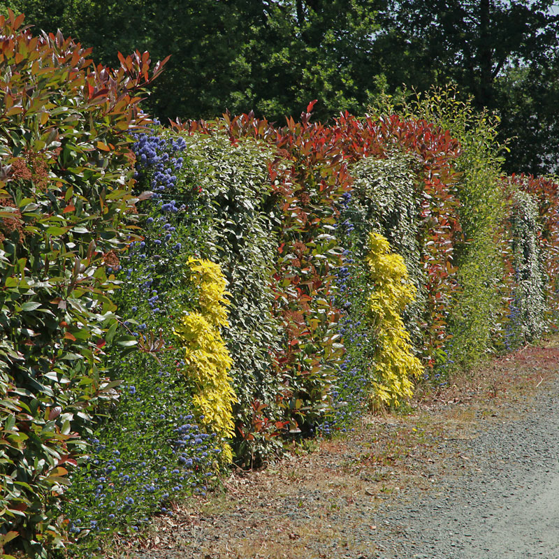 unusual hedge with mixed colours of foliage and flowers