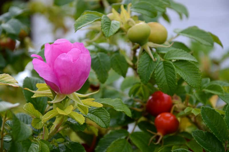 rosa rugosa plant with pink flower bud and bright red rose hips