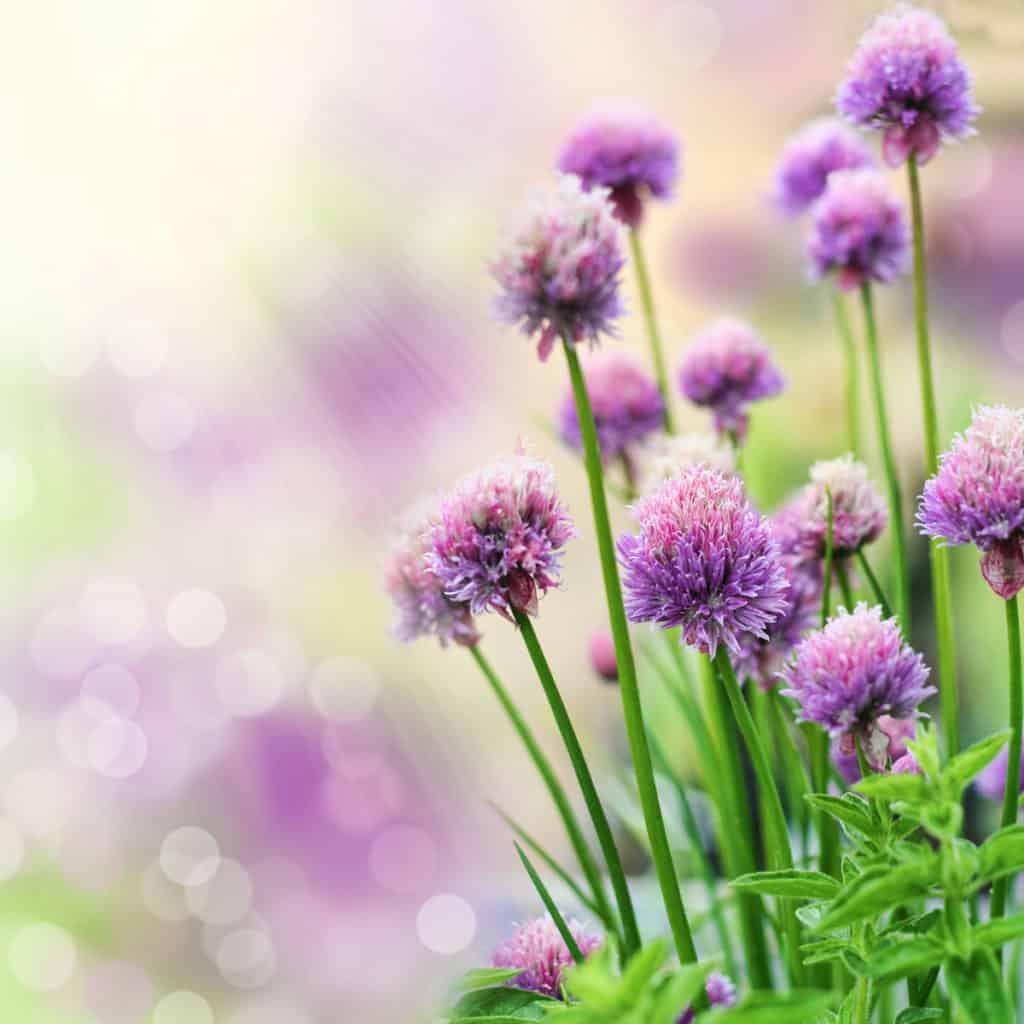 using edible flowers in garden design