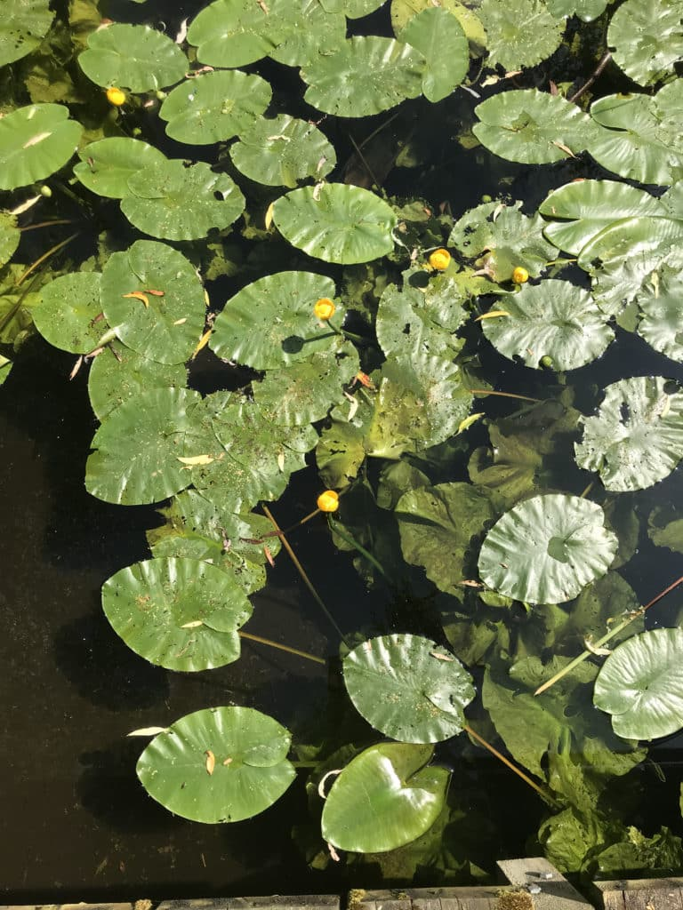 water foliage plants