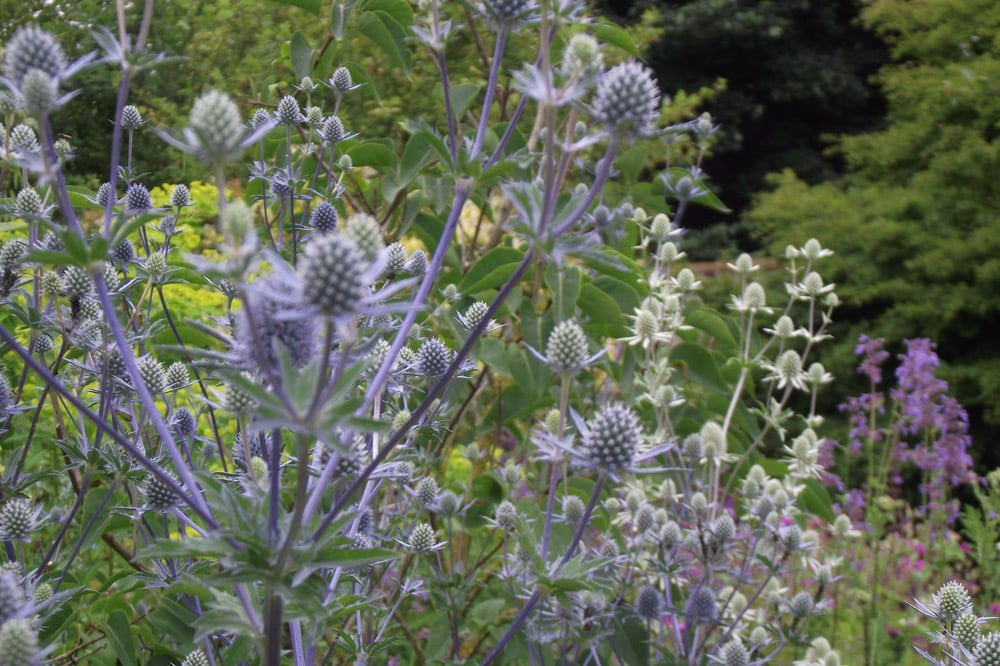 drought tolerant flowering plant