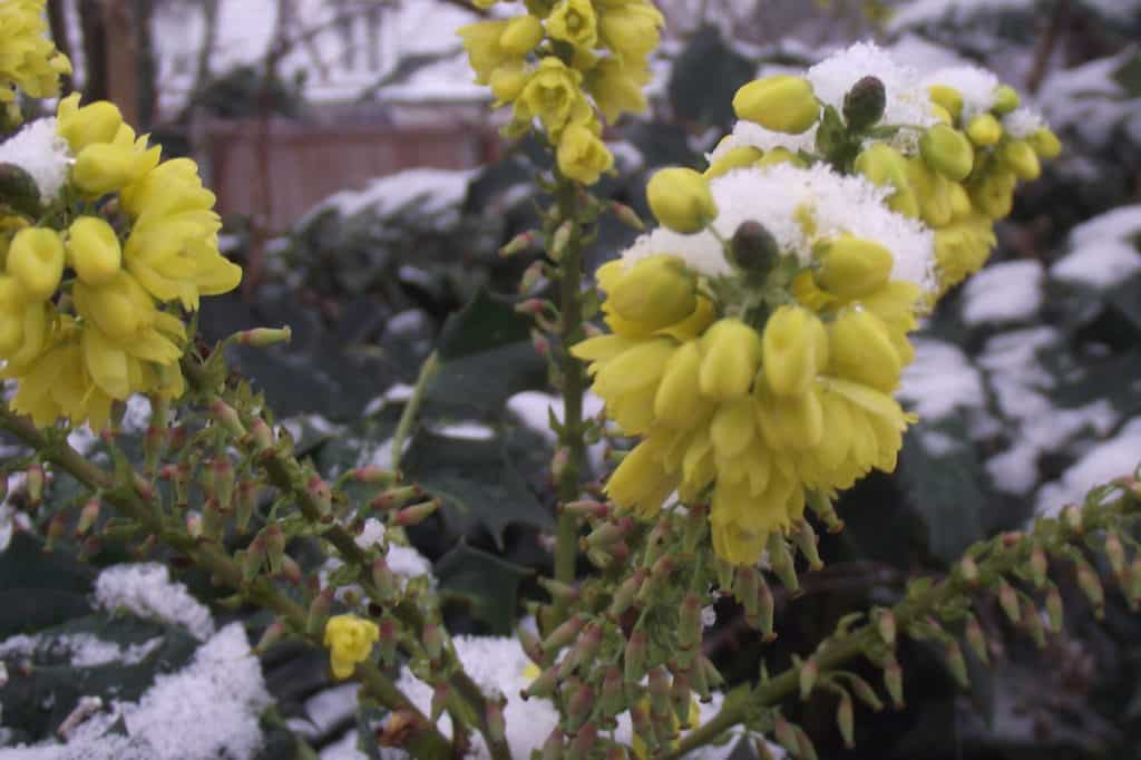 manhonia flowers in a winter garden