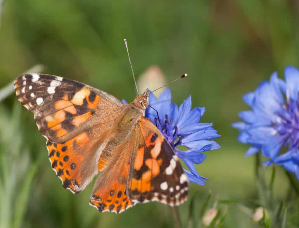 cottage garden plant the annual cornflower with tortoishell butterfly feeding from it