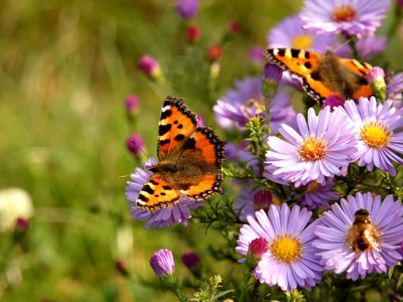 cottage garden plants the aster or michaelmas daisy being visited by butterflies and honey bees