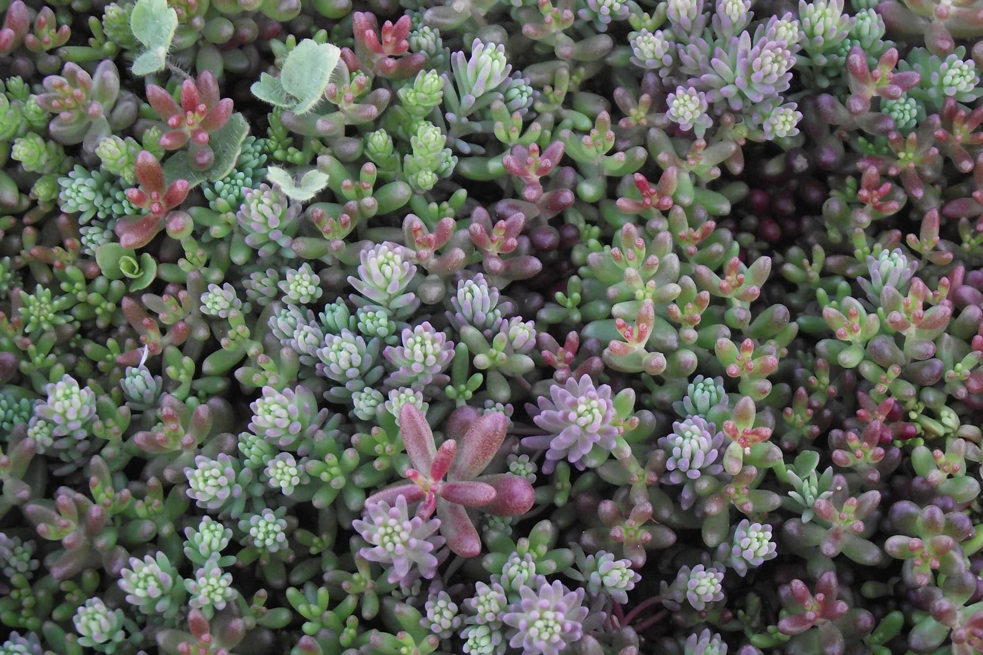 drought tolerant sedum plants make great alternative lawns that won't go brown in the summer