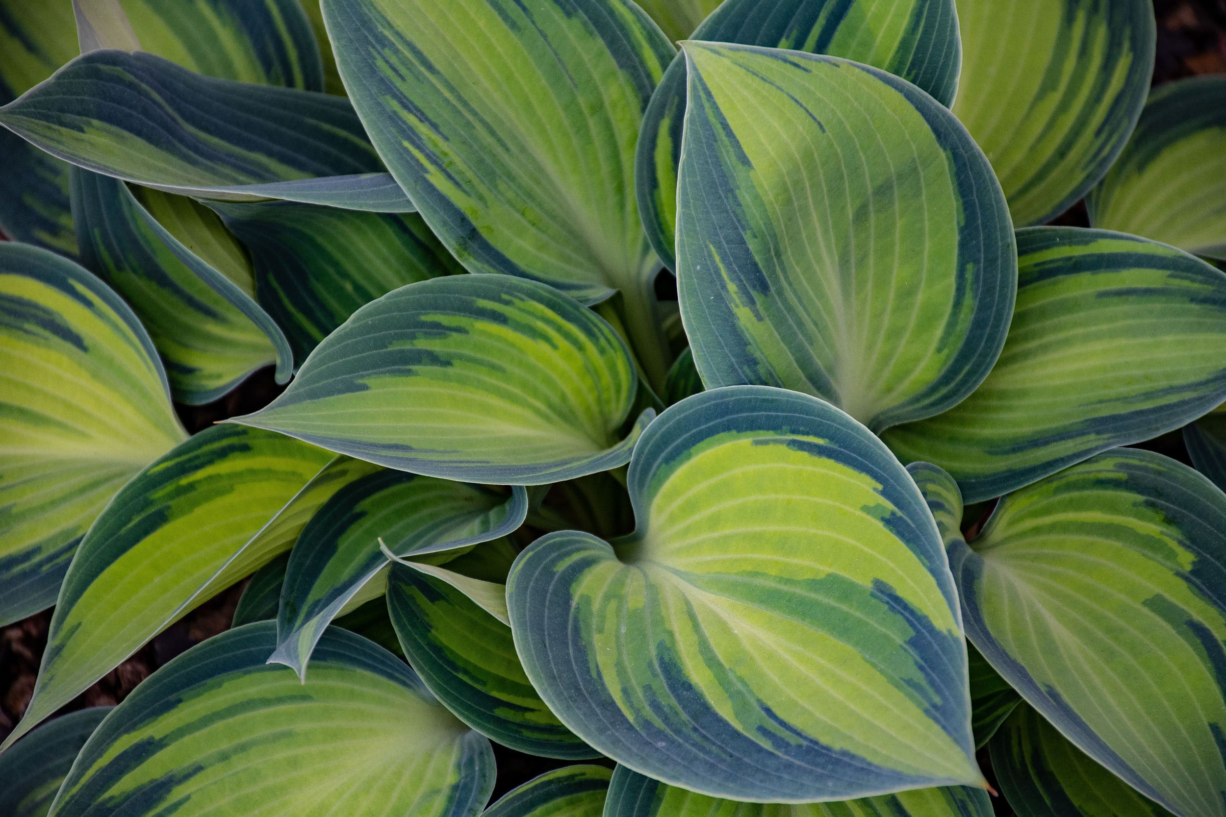 what shall I plant in my garden hostas