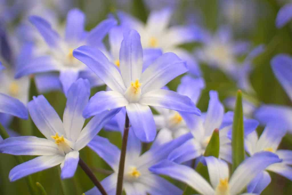 pale blue and white flowers of chionadoxa