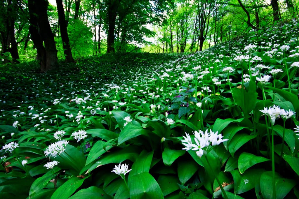 wild garlic flowers and foliage carpeting a woodland floor
