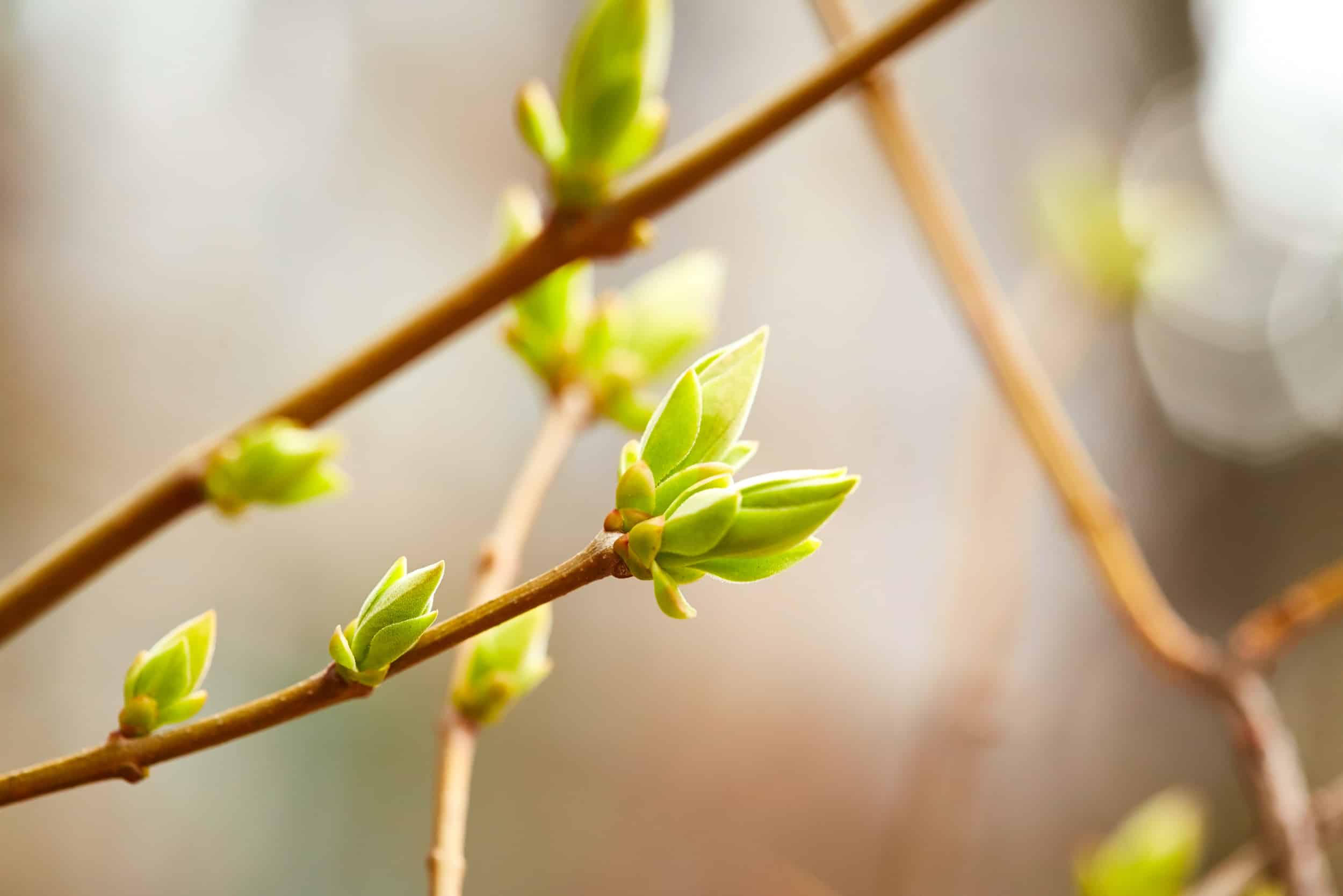 group of newly opened spring buds