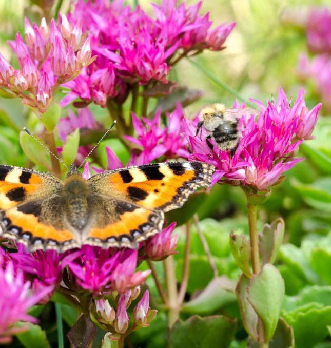 sedum flower attracting pollinators