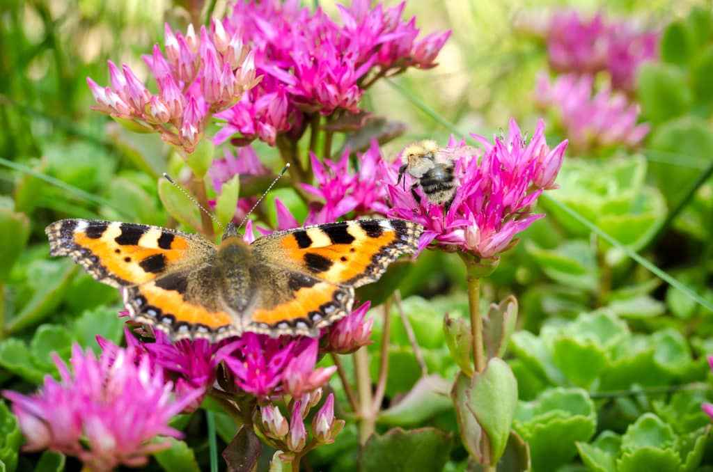 sedum flower attracting pollinators