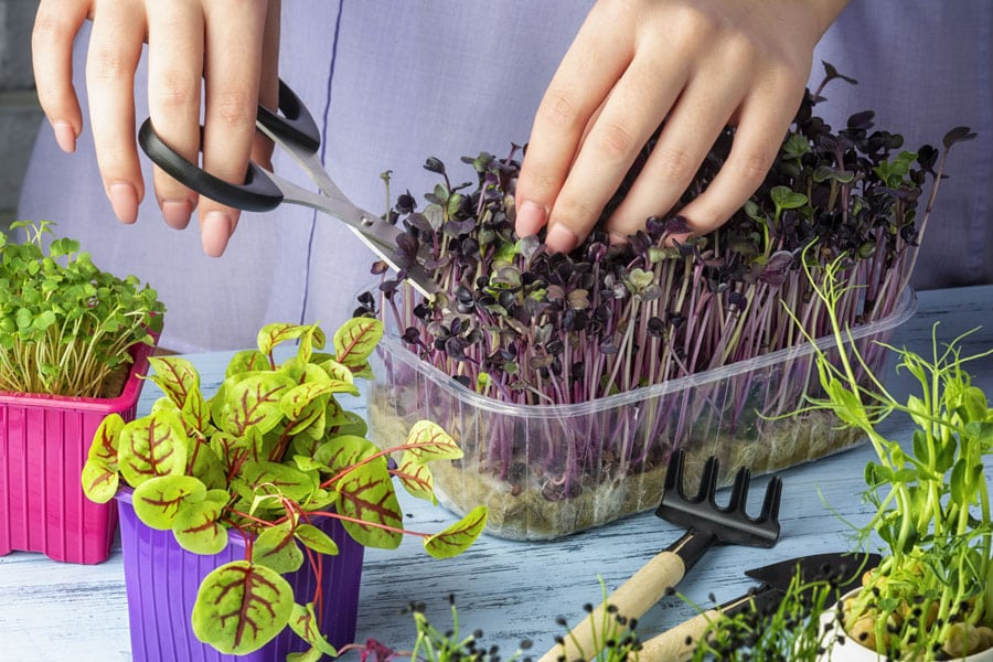 micro greens from the chef's garden