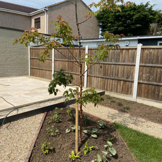 young tree in newly landscaped garden