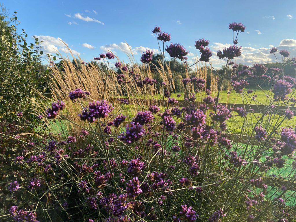 ornamental grasses and verbena bonariensis in a winter garden near Pelton Essex