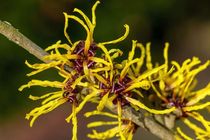 bright yellow flowers of witch hazel on leafless stem